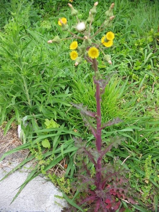 Осот огородный (лат. Sonchus oleraceus)