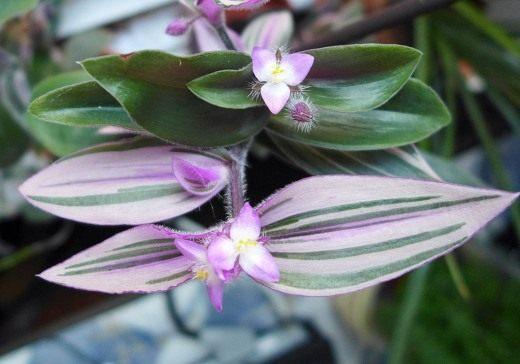 Традесканция Блоссфельда (лат. Tradescantia blossfeldiana)
