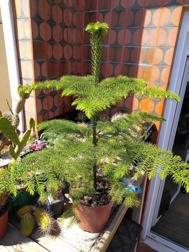 Араукария разнолистная, или комнатная ель (Araucaria heterophylla)
