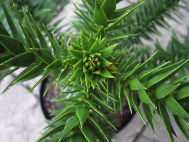 Араукария чилийская (Araucaria araucana)