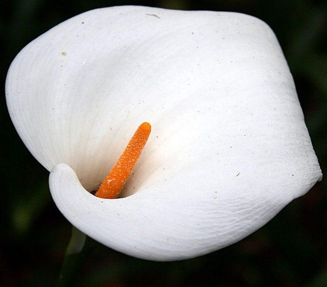 «Цветком» каллы называют кроющий лист (покрывало), в который обернута желтая «свеча» соцветия-початка