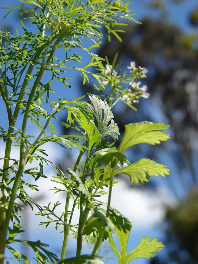Кориандр, или кинза(Coriandrum sativum)