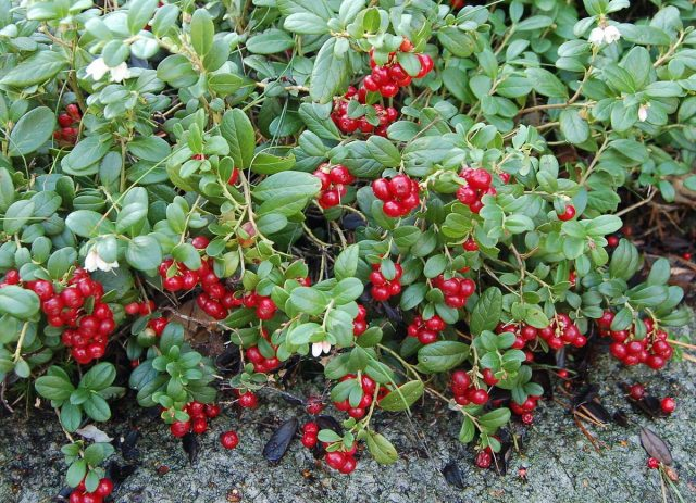 Брусника (лат. Vaccinium vitis-idaea)