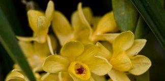 Дендробиум (Dendrobium)