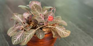Эписция медно-красная (Episcia cupreata)