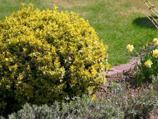 """Бересклет Форчуна """"Эмеральд Голд"""". (Euonymus fortunei 'Emerald Gold')"""