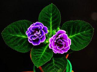 Глоксиния прекрасная (Gloxinia speciosa)