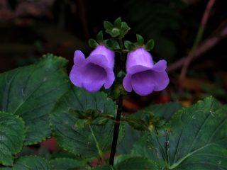 Глоксиния многолетняя, или крапчатая (Gloxinia perennis)