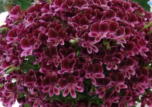 Пеларгония, сорт 'Berkswell Calypso'