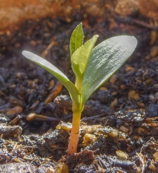 Как сажать люпины семенами в открытый грунт