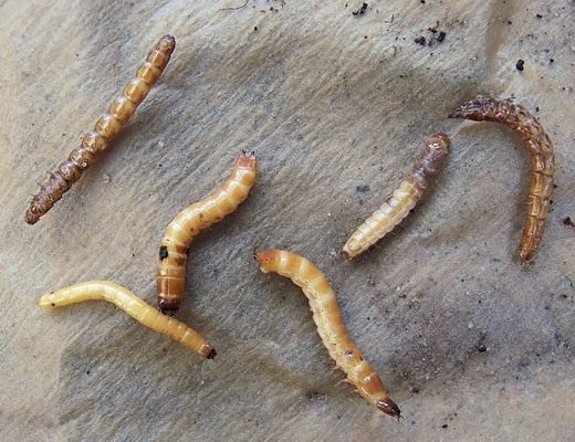 Проволочник - личинки жука щелкуна