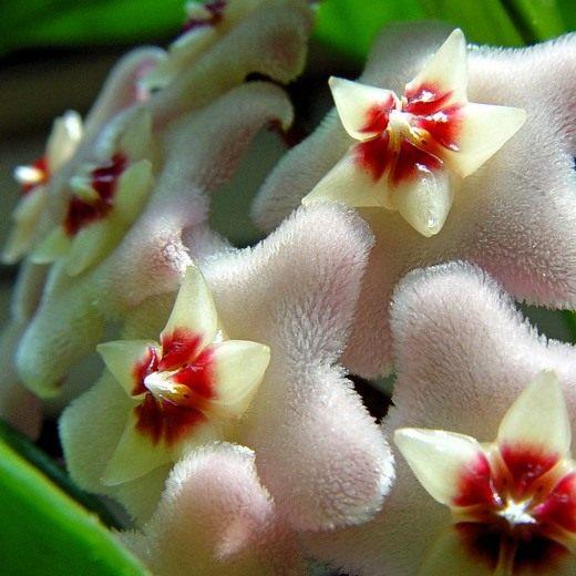 цветок хойя фото: