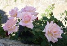 Ароматные плети роз