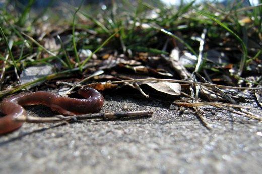 Земляной или дождевой червь