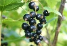 Черная смородина – ягода для здоровья