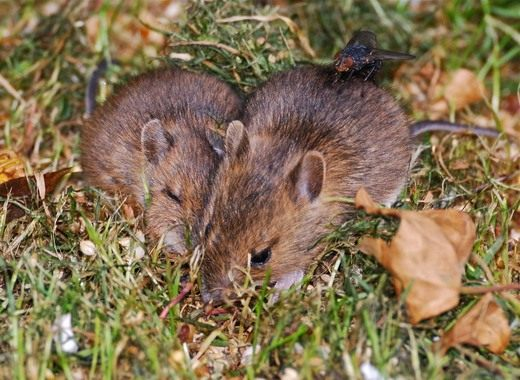 Полевая мышь - фото и описание