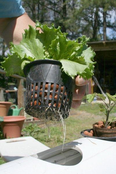 Салат выращенный в гидропонной системе
