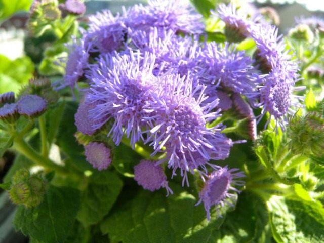 Агератум Гаустона, или Агератум мексиканский, или Долгоцветка (Ageratum houstonianum)