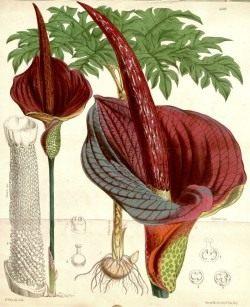 Аморфофаллус коньяк. Ботаническая иллюстрация