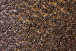 Аморфофаллус коньяк, мужские цветки