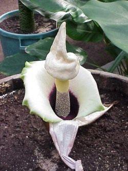 Аморе фалиус цветок фото