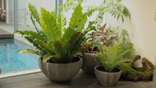 Асплениум гнездовой, или Костенец гнездовой (Asplenium nidus) (слева)