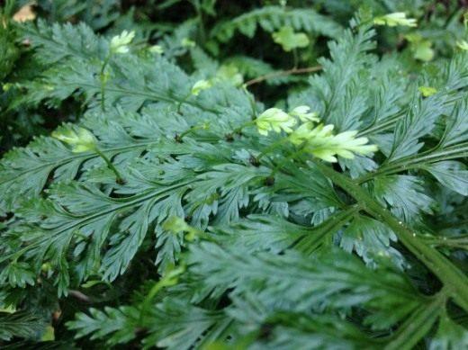 Асплениум луковиценосный, или Костенец луковиценосный (Asplenium bulbiferum)