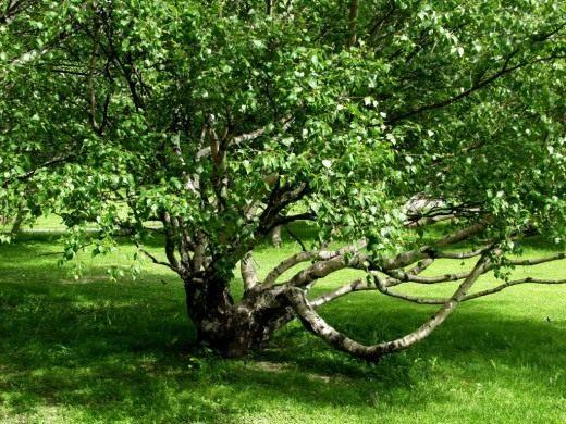 Берёза карельская, разновидность берёзы повислой