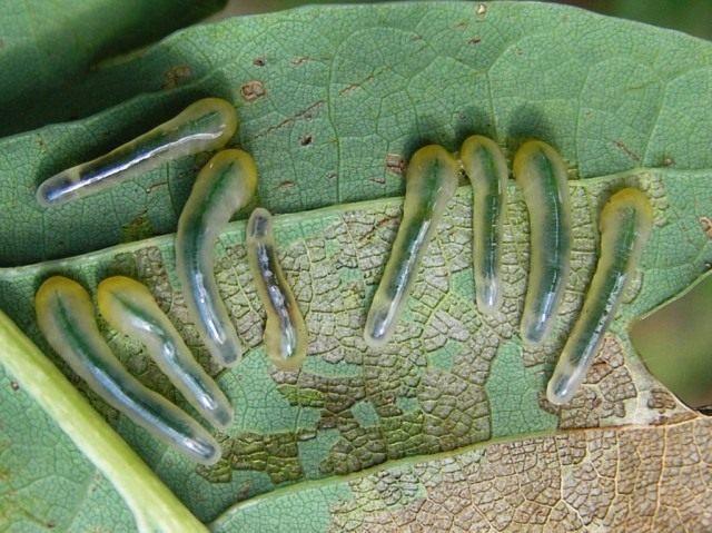 Гусеницы пилильщика на листьях дуба