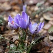 Шафран, или крокус двухцветковый, вариация Адамса (Crocus biflorus subsp. adamii (Crocus Adami))