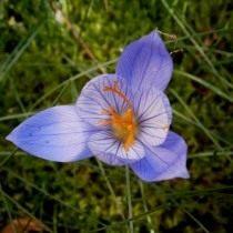 Шафран, или крокус прекрасный 'Artabir' (Crocus speciosus)