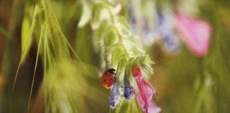 Полезных насекомых привлекают в сад цветущие растения