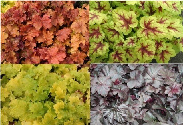 Вариации цвета и рисунка листьев Гейхеры