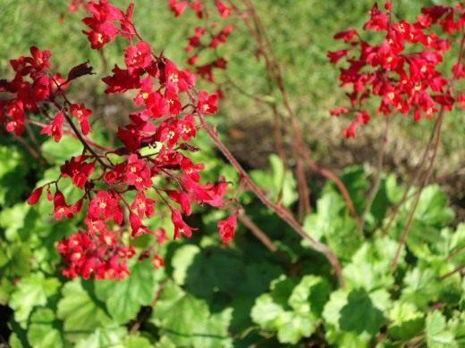 Цветы Гейхера кроваво-красная