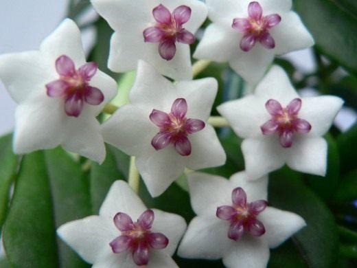 Хойя прекрасная (лат. Hoya bella)
