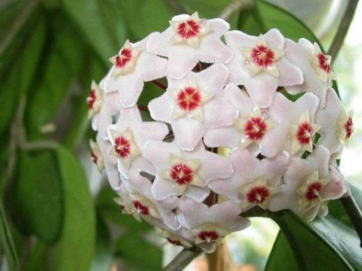 Хойя мясистая (лат. Hoya carnosa)