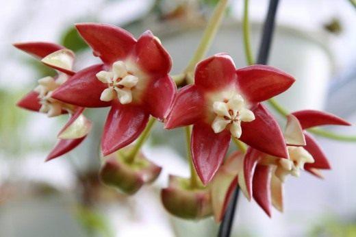 Хойя императорская, величественная (лат. Hoya imperialis)