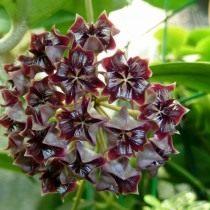 Хойя миндоренсис, или хойя миндорская (Hoya mimdorensis)