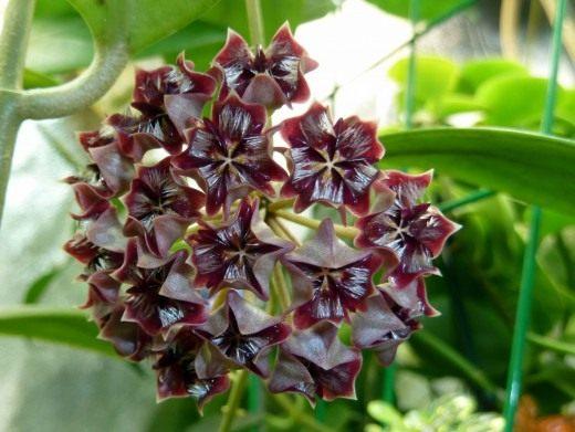 Хойя миндоренсис, миндорская (лат. Hoya mimdorensis)