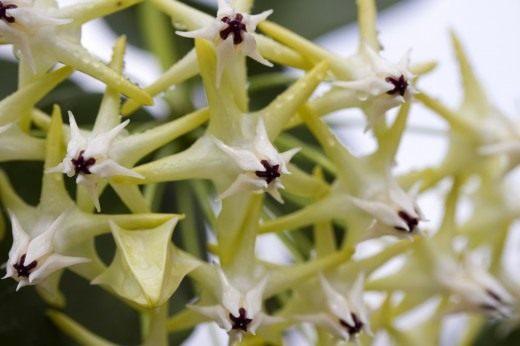 Хойя многоцветковая (лат. Hoya multiflora)