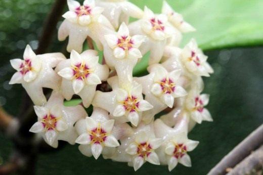 Хойя Ридли (лат. Hoya ridleyi)