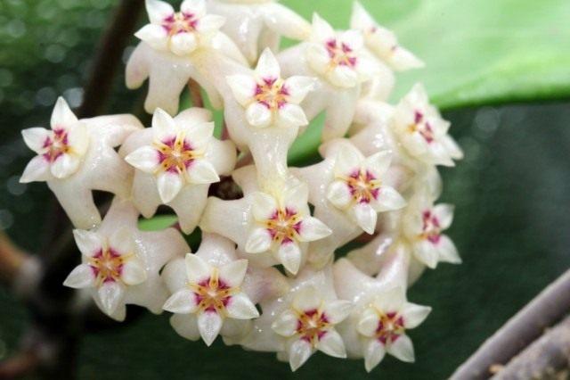 Хойя Ридли (Hoya ridleyi)