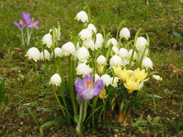 Белоцветник весенний и крокусы