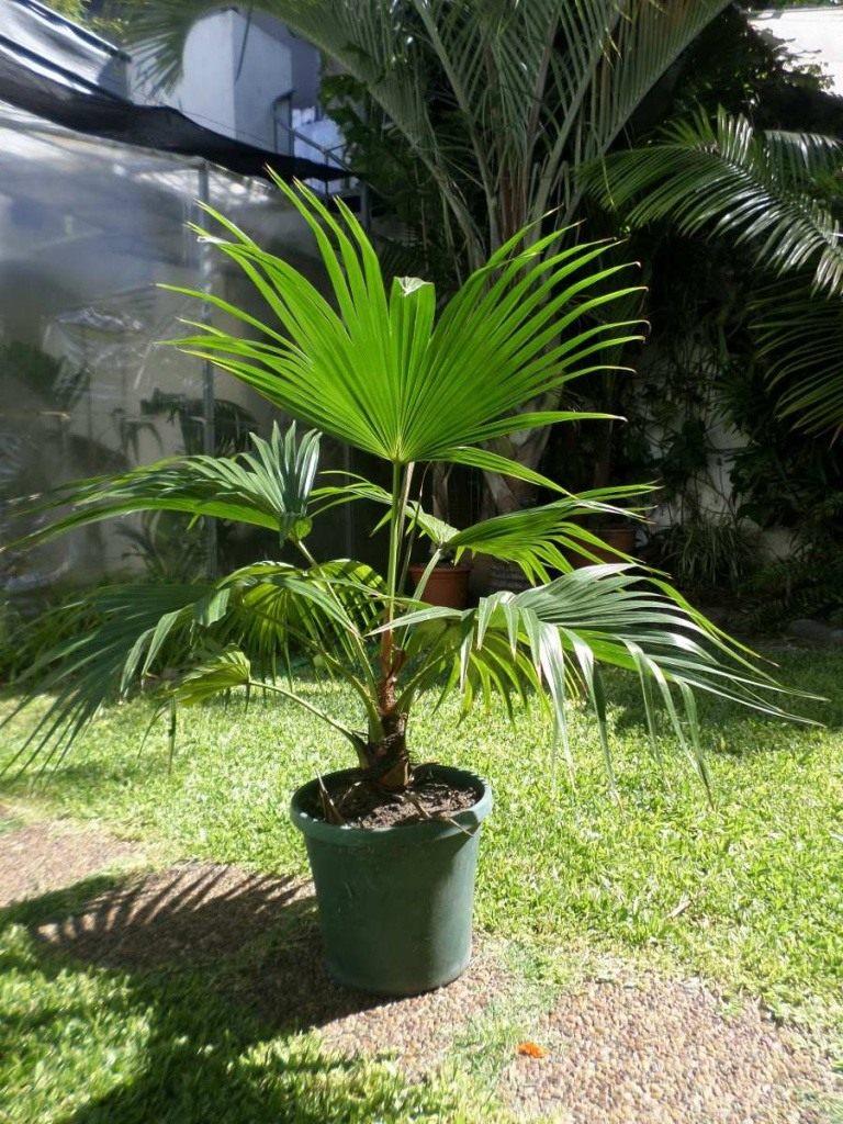 Разновидности пальм в домашних условиях фото 444