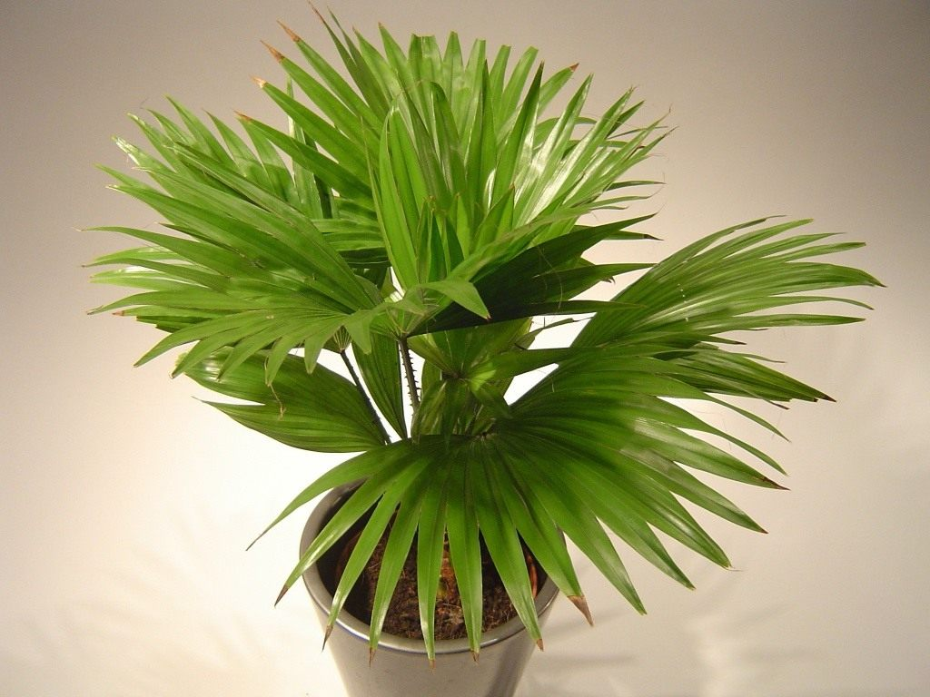 Пальмовые уход в домашних условиях 97
