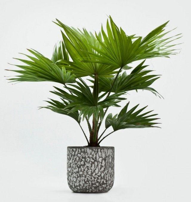 Пальма в домашних условиях из семян