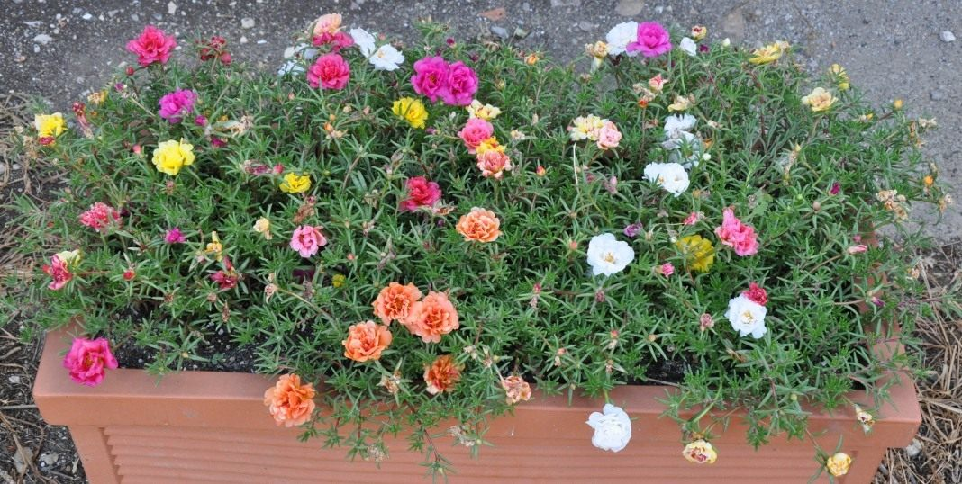 Когда сажать цветок портулак 65