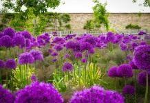 Лук голландский 'Purple Sensation'