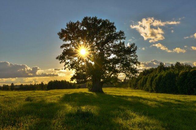 Дерево дуба черешчатого