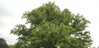 Дуб черешчатый (летний, английский, обыкновенный) (Quercus robur)